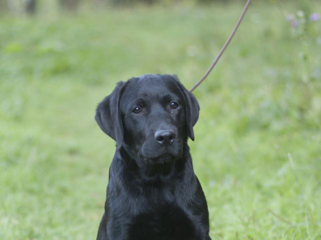Продаю: Подрощенные щенки Лабрадора черные 5мес, питомник фото2