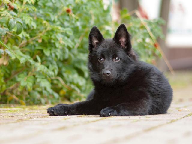 Продаю: щенки шипперке фото3