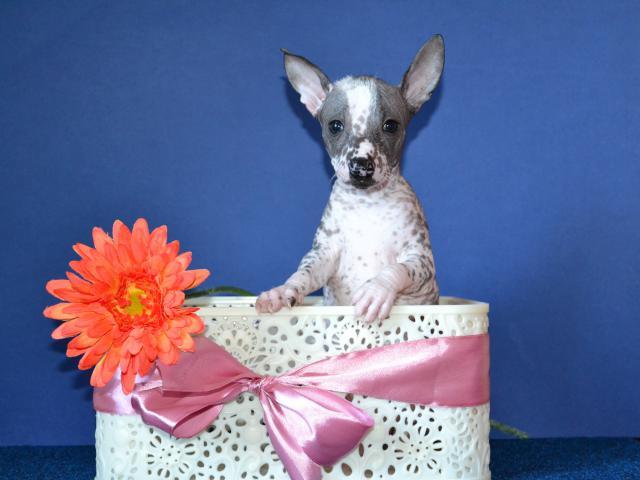 Продаю: Шикарные щенки мини мексиканской голой собаки
