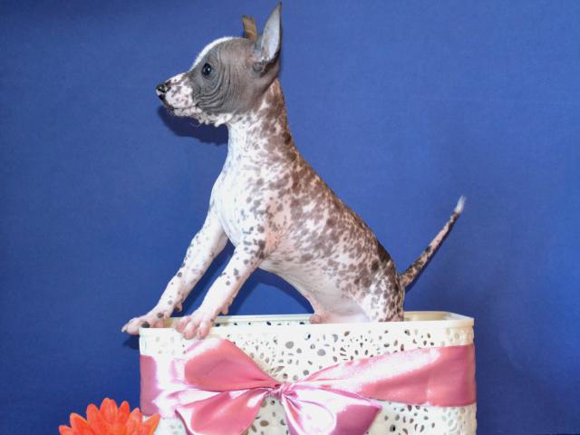 Продаю: Шикарные щенки мини мексиканской голой собаки фото2