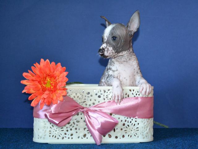 Продаю: Шикарные щенки мини мексиканской голой собаки фото3