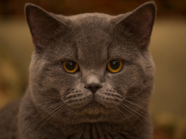 Вязка: Кот для вязки
