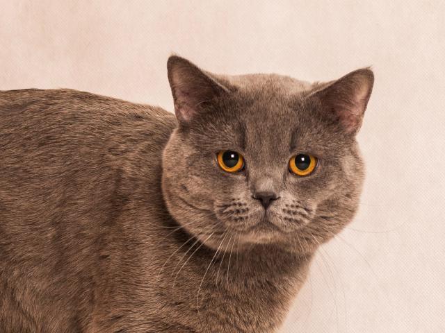 Вязка: Кот для вязки фото2