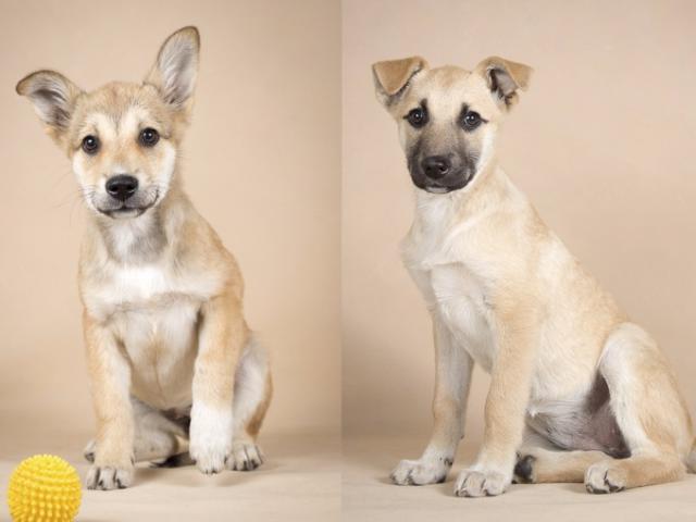 Отдам в дар: Два чудесных щенка в добрые руки