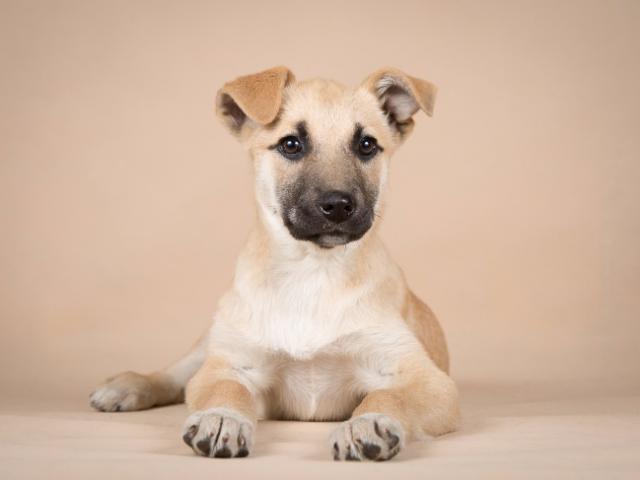 Отдам в дар: Два чудесных щенка в добрые руки фото2