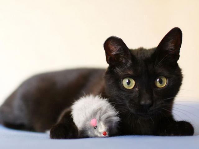 Отдам в дар: Москва и Реутов Черный кот по имени Чарли) фото2