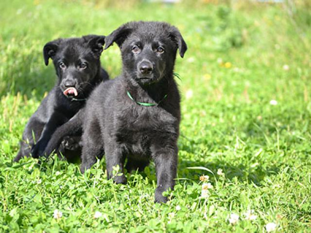 Продаю: Черные щенки ВЕО