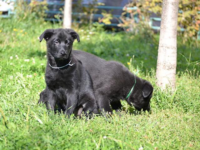 Продаю: Черные щенки ВЕО фото2