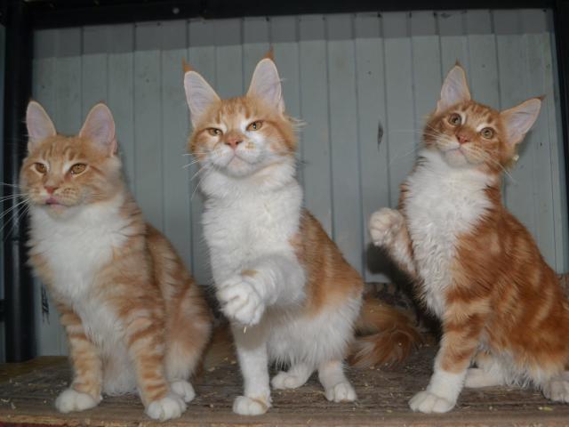 Продаю: Котята Мейн Кун из питомника фото2