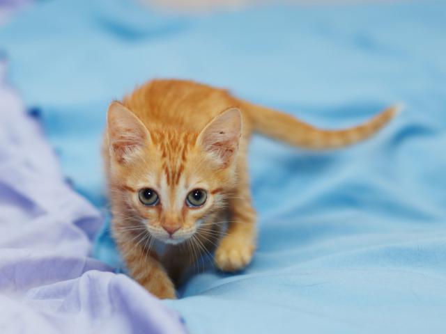 Отдам в дар: Котенок Злата в добрые руки фото2