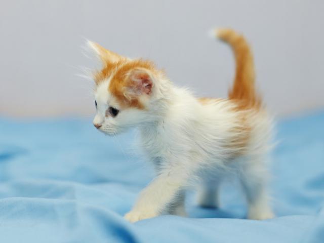 Отдам в дар: Котенок Злата в добрые руки