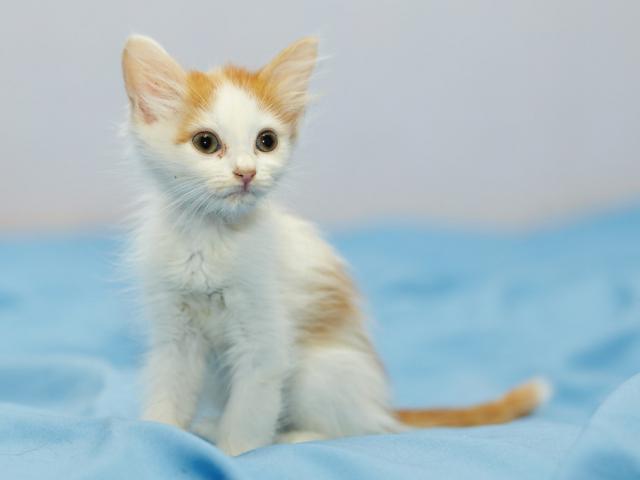 Отдам в дар: Котенок Злата в добрые руки фото3