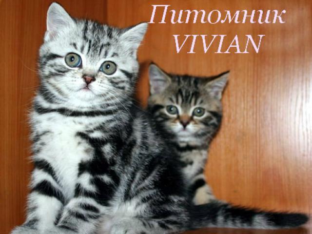 Продаю: Британские котята черный мрамор на серебре