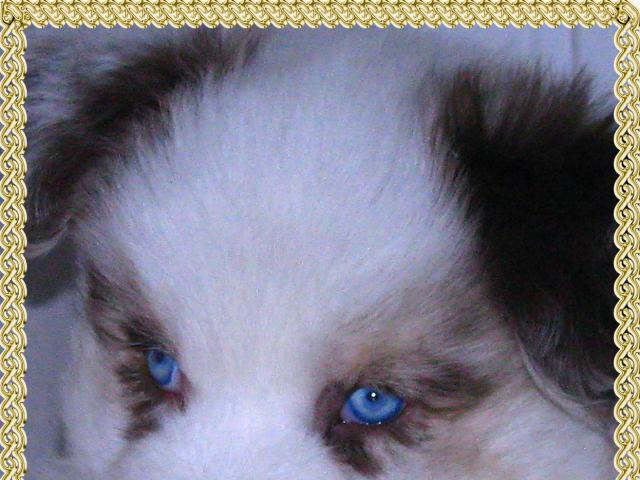 Продаю: Шикарный голубоглазый щенок австралийской овчарки