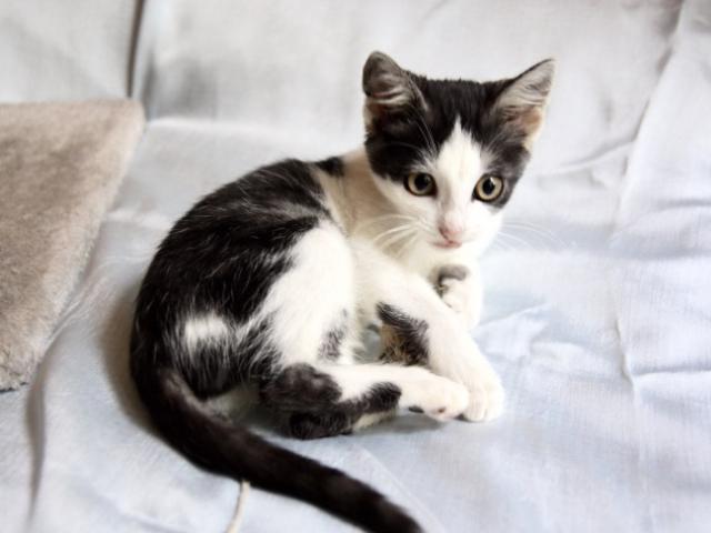 Отдам в дар: Чудесный котенок Кэсси в добрые руки фото2