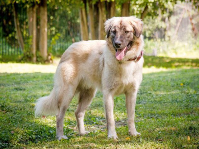 Отдам в дар: Красивейший пес Чибис в добрые руки