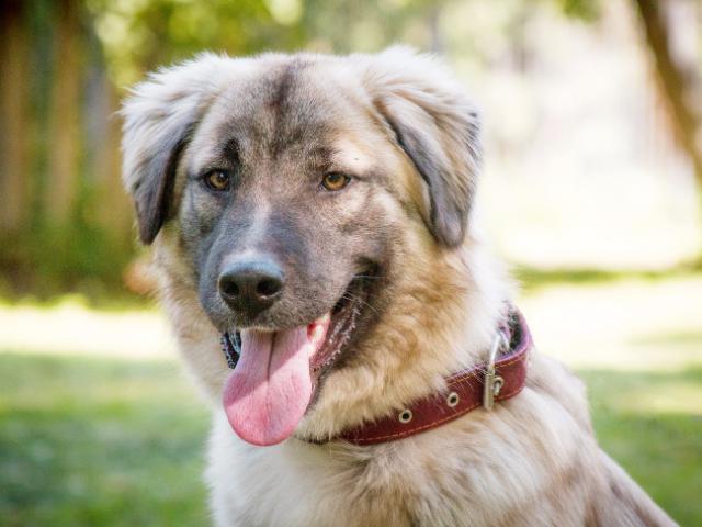Отдам в дар: Красивейший пес Чибис в добрые руки фото2