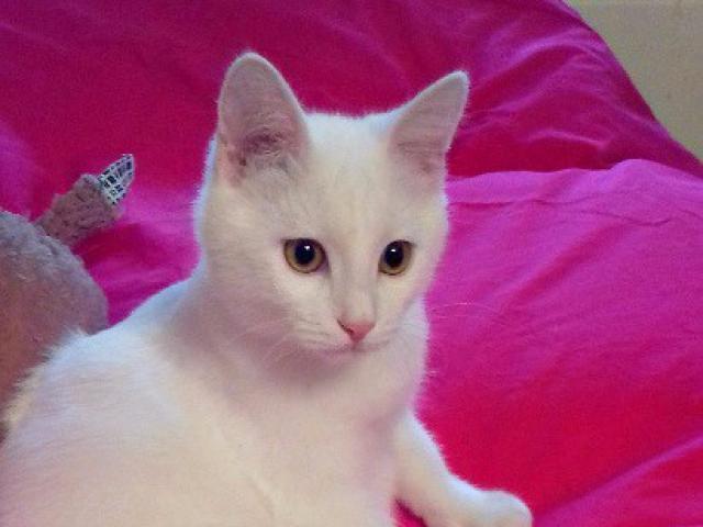 Отдам в дар: Ищет дом белый котенок Снежок