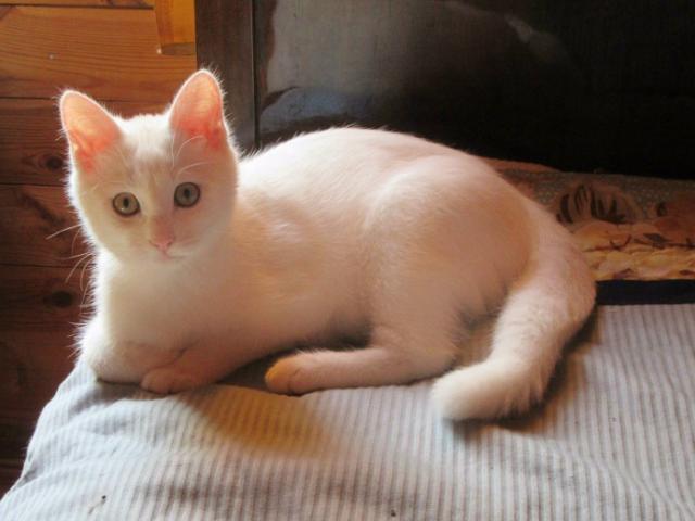 Отдам в дар: Ищет дом белый котенок Снежок фото2