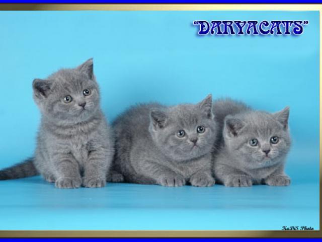 Продаю: Британские и шотландские котята