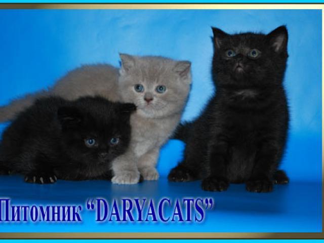 Продаю: Британские и шотландские котята  фото2