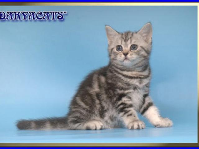 Продаю: Британские и шотландские котята  фото3