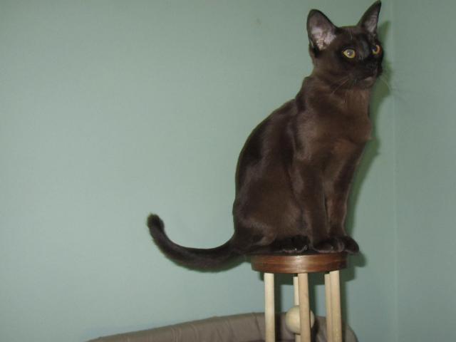 Продаю: Котята Бурмы фото2