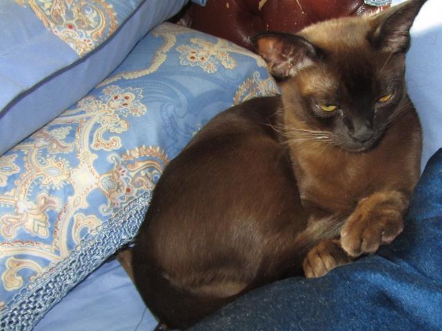 Продаю: Котята Бурмы фото3