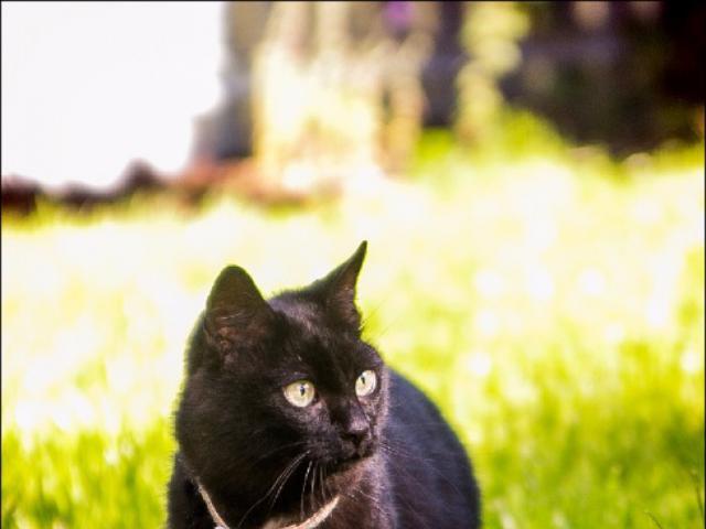Отдам в дар: Шикарный черный кот в добрые руки фото2