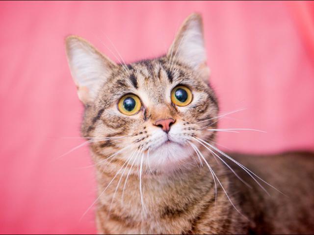 Отдам в дар: Молоденькая кошечка Сашенька в добрые руки фото2