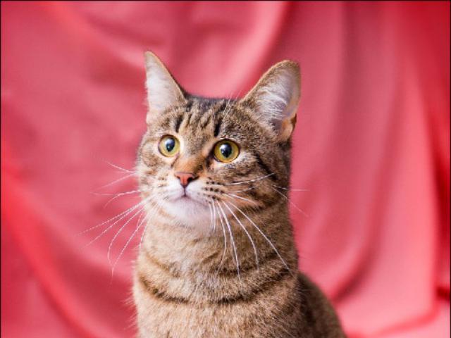 Отдам в дар: Молоденькая кошечка Сашенька в добрые руки фото3