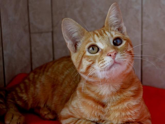 Отдам в дар: Рыжий котенок в дар