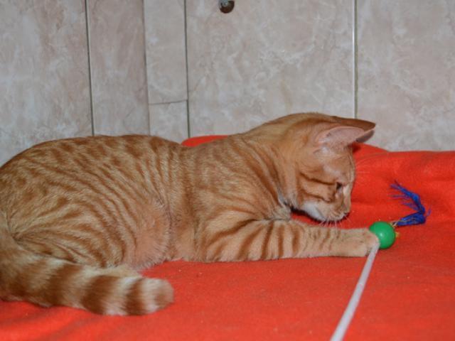 Отдам в дар: Рыжий котенок в дар фото2