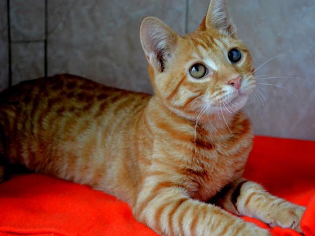 Отдам в дар: Рыжий котенок в дар фото3