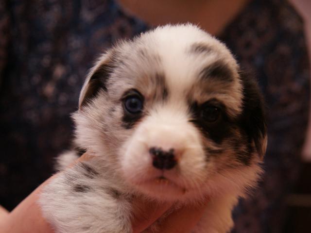 Продаю: Продается щенок вельш-корги кардиган фото2
