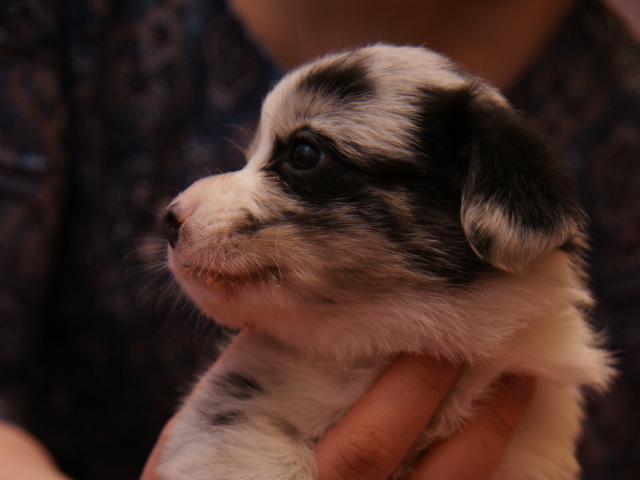 Продаю: Продается щенок вельш-корги кардиган фото3