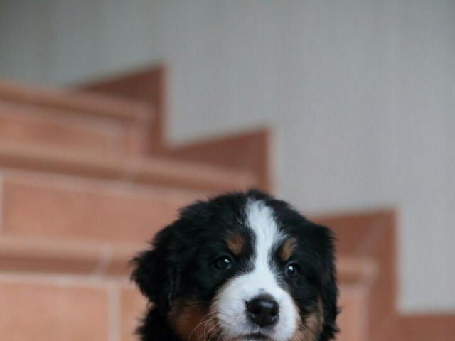 Продаю: тся щенки бернского зенненхунда фото3