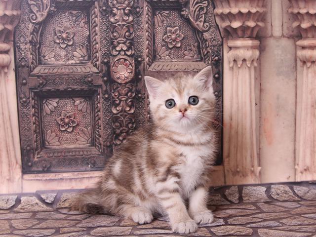 Продаю: Клубный шотландский котик фото2