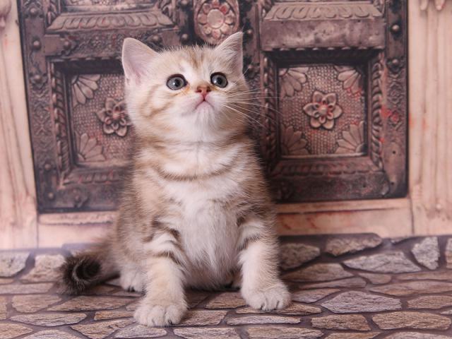 Продаю: Клубный шотландский котик фото3