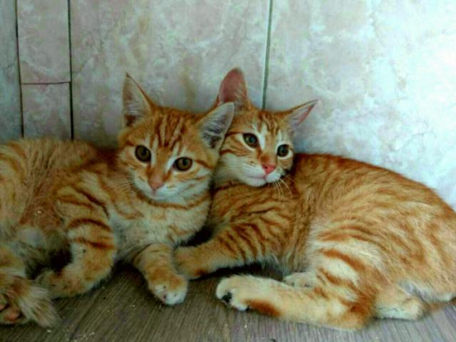 Отдам в дар: Рыжие котята в добрые руки фото2