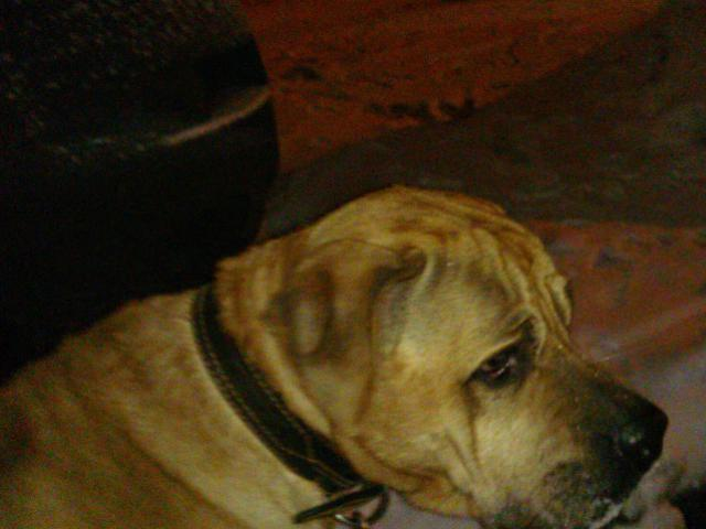 Отдам в дар: Пес породы Тоса Ину ищет дом фото3
