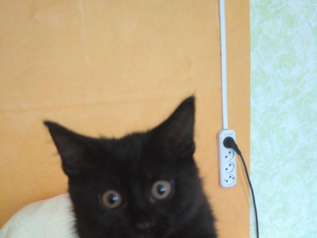 Отдам в дар: Отдам черного котенка фото2