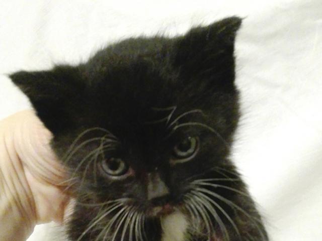 Отдам в дар: Черненькие и черно-белые игривые котятки в дар
