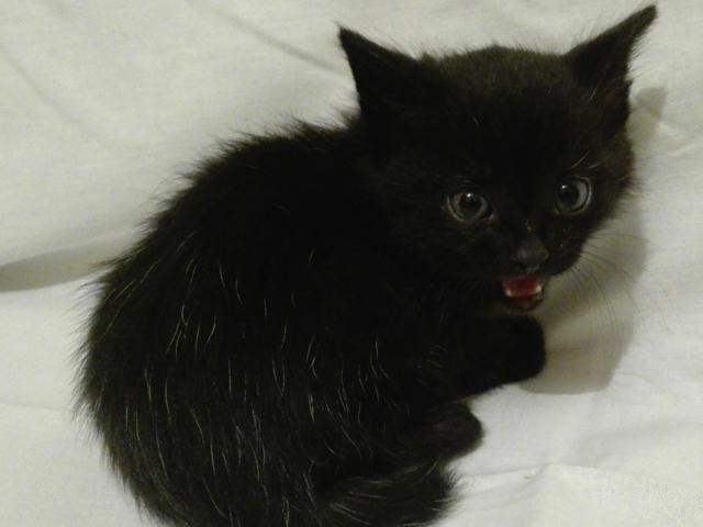 Отдам в дар: Черненькие и черно-белые игривые котятки в дар  фото2