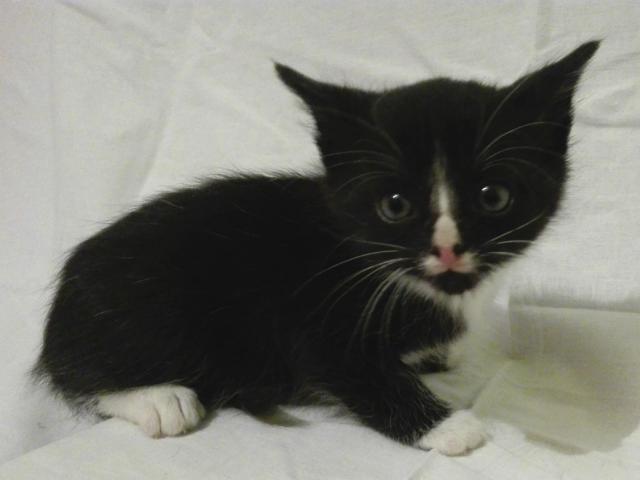 Отдам в дар: Черненькие и черно-белые игривые котятки в дар  фото3