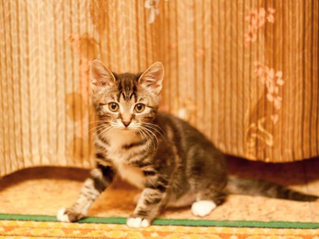 Отдам в дар: Котенок Ватрушка в добрые руки фото2