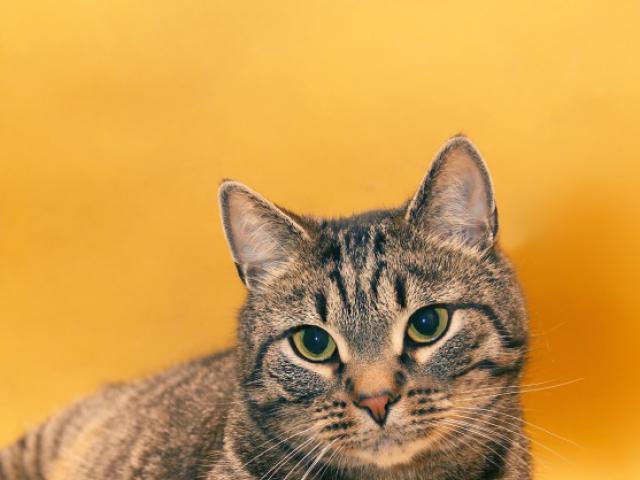 Отдам в дар: Василиус - Эрмитажный кот фото2