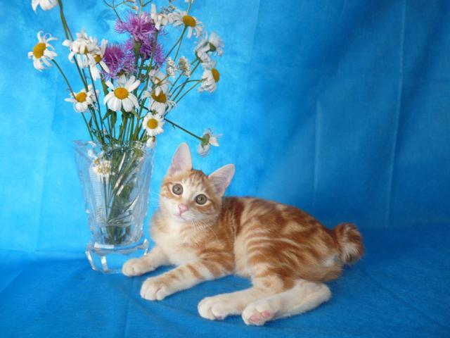 Продаю: Курильский бобтейл янтарный мраморный котик