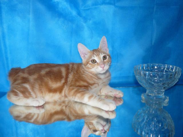 Продаю: Курильский бобтейл янтарный мраморный котик фото2
