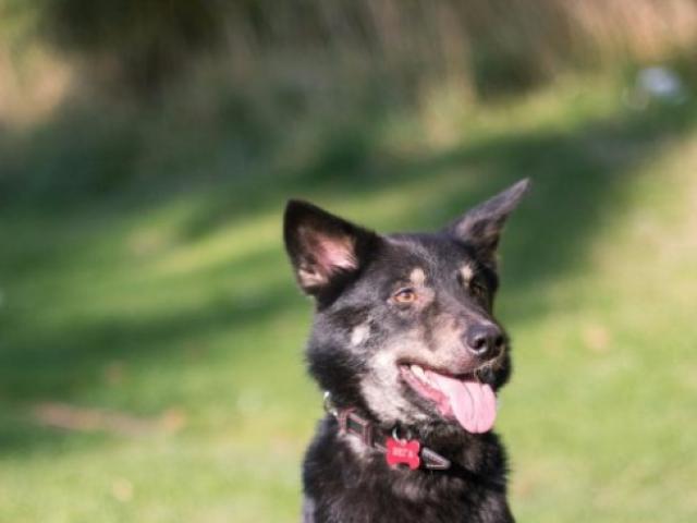 Отдам в дар: Нежная собачка Вега ищет дом фото3